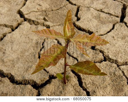 red oak tree sapling three-four weeks from germination growing in arid zone