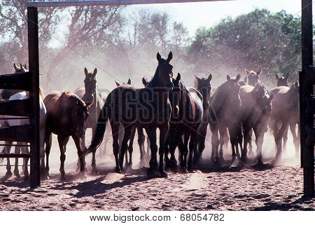 Horse Muster