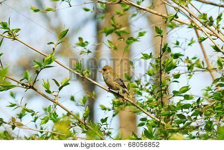 European greenfinch.Spring landscape. Spring etude.