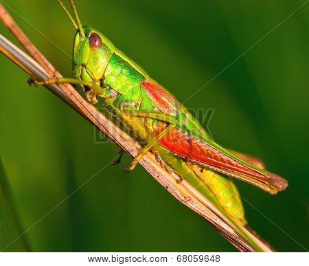 Grasshopper On A Halm Of Grass In Summer
