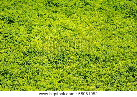 Green Background Of Wild Undergrowth Clearing Grass Bidens