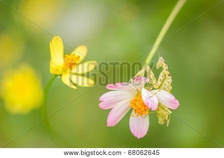 Cosmos Sulphureus Flower And Mantis