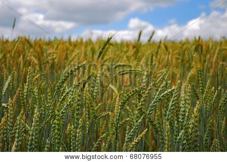 Fields Of Wheat Grain
