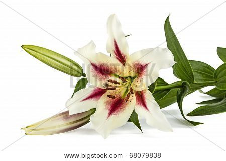 Flowers Lily, Lat. Lilium Oriental Hybrids, Isolated On White Background