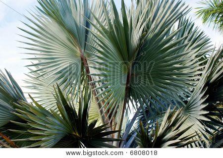 Bismark Palm Trees