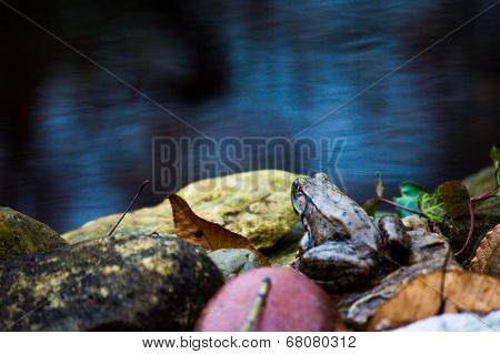 Frog by a pond