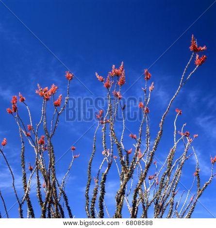 Ocotillo In Bloom
