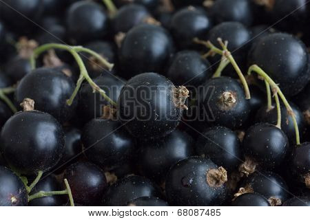 Freshly picked unwashed black currants with stems.