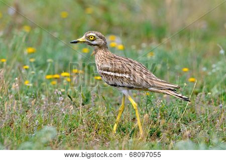 Burhinus oedicnemus (Eurasian Thick-knee, Eurasian Stone-curlew , Stone Curlew ) outdoor