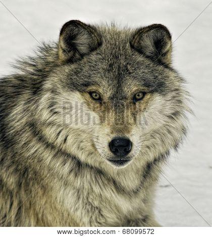 Eastern Grey Wolf