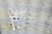 pic of tozeur  - A desert fox in a zoo in Tunis Tunisia - JPG