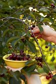 image of cherry-picker  - Woman harvesting ripe cherries in the yellow bowl - JPG