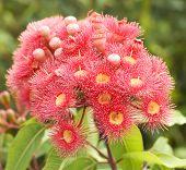 Pink Red Flowers Gum Tree Eucalyptus Phytocarpa