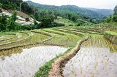picture of sob  - Rice Field Terraces In Doi Inthanon - JPG