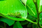Green caterpillar on lime leaf pic.