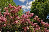 picture of lilac bush  - Pretty pink lilac bush with trees and blue sky - JPG
