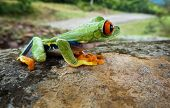 image of red eye tree frog  - Red eye tree frog in Costa Rica on big rock with mountains and greenery next to a road looking for a ride - JPG
