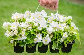 picture of begonias  - Hand holds container of the white blossom begonia in the garden - JPG
