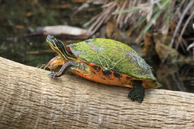 picture of cooter  - Florida Red-bellied Cooter (Pseudemys Chrysemys nelsoni) in the Florida Everglades ** Note: Soft Focus at 100%, best at smaller sizes - JPG