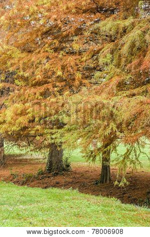 Taxodium Distichum Bald Cypress