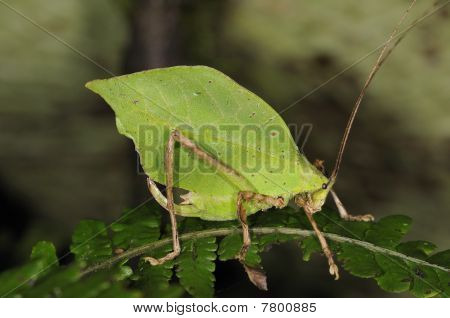 Leaf Grasshopper
