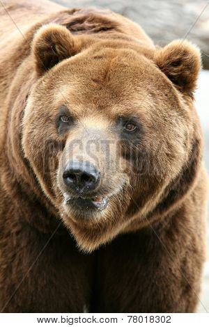 Male Kamchatka brown bear (Ursus arctos piscivorus), the second largest brown bear in the world after a Kodiak bear.