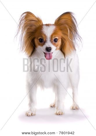 Dog Of Breed Papillon