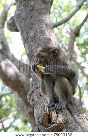 Monkey In Nature Eating Fruit.