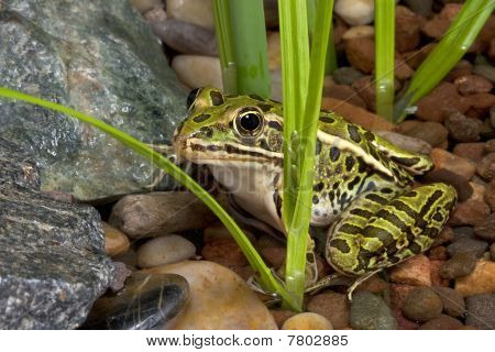 Leopard Frog In Pond