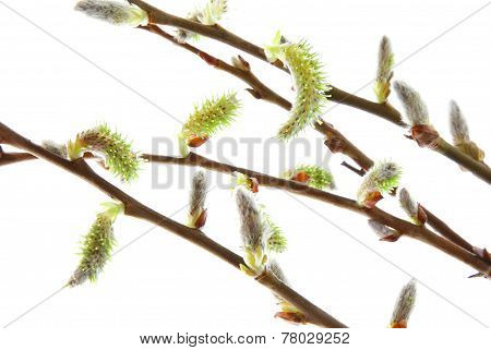 Catkins Willow Branch Easter Isolated