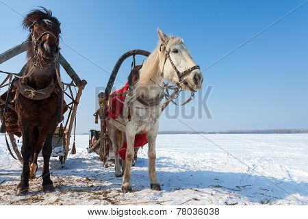 Two Horses With Bridle And Harness At The Countryside In Winter
