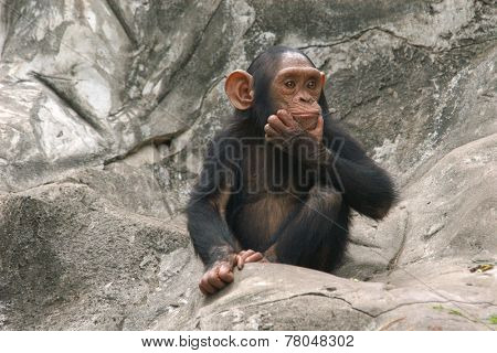 Little chimpanzee (Pan troglodytes).