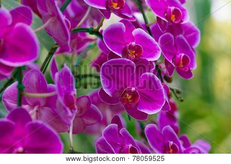 Pink Orchids in the garden (Phalaenopsis Hybrid)