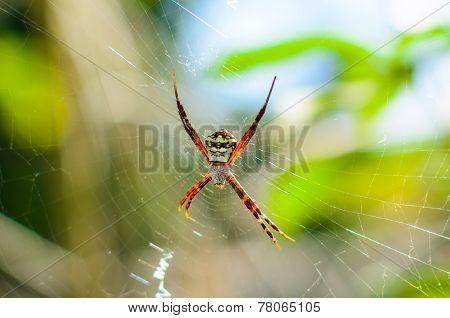 Golden Garden spider (Argiope aurantia)
