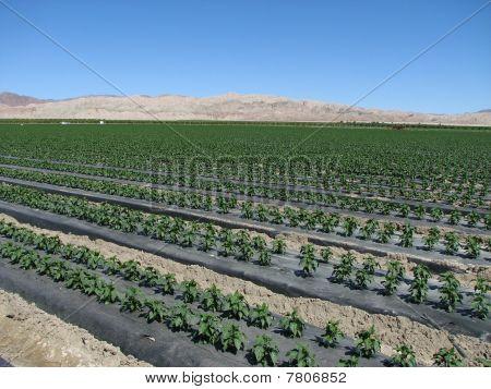Pepper Plants In The Desert