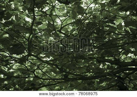 Dense canopy