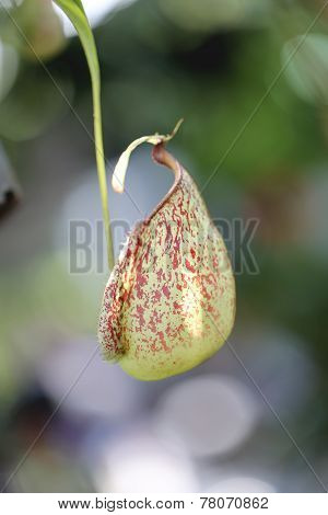 Focus On Pitcher Plant Of Macro.