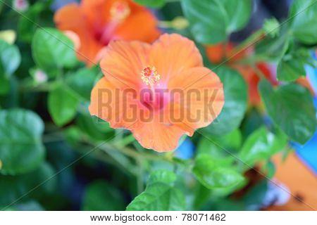 Blossoming Orange Flower Of Hibiscus.
