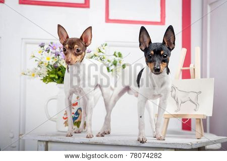 Two Toy Fox Terrier
