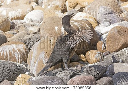 Flightless Cormorant In The Galapagos Islands