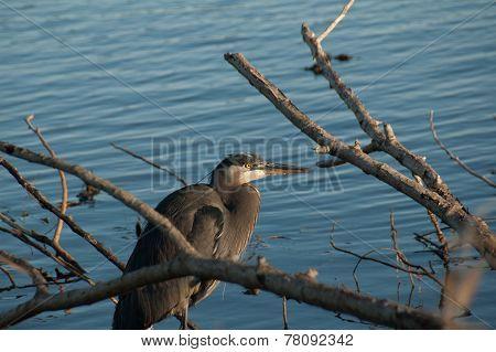 Great Blue Heron at Lake Edge