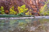picture of virginity  - beautiful serene landscape in Autumn with the virgin river red sandstone and glowing yellow trees in Zion National Park Utah - JPG