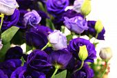picture of purple rose  - Purple roses and buds - JPG