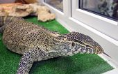 foto of monitor lizard  - the very big monitor lizard reptile predator - JPG