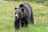 foto of grizzly bear  - Photo of a roaming Grizzlie Bear - JPG