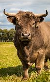 pic of highland-cattle  - Highland bull looking big and strong with his long horns - JPG