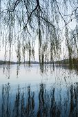 stock photo of weeping willow tree  - Weeping willow silhouettes on the coast - JPG