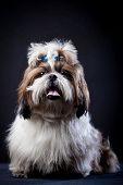 foto of dog breed shih-tzu  - Funny Shih Tzu dog in studio on a black background - JPG