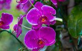 foto of orquidea  - Pink Orchids in the garden  - JPG