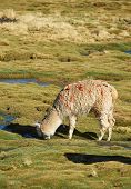 pic of alpaca  - Alpaca grazing on course grass in the Altiplano of northern Chile - JPG